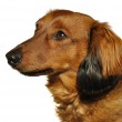 Red Long-Haired Dachshund — Stock Photo #6053352