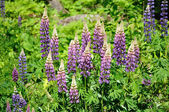 Group of Purple Wild Lupines — Stock Photo