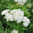 Stock Photo: White Yarrow Wildflower