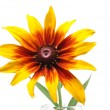 Gloriosa Daisy  or Black-Eyed Susan (Rudbeckia Hirta) — Stock Photo