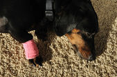 Wrap on Injured Leg of a Dachshund — Stockfoto