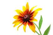 Gloriosa Daisy or Black-Eyed Susan (Rudbeckia Hirta) — Stock Photo