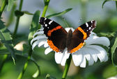 Red Admiral Butterfly on a Shasta Daisy — Stock Photo