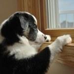 Australian Shepherd (Aussie) Puppy Watching — Stock Photo #6633598