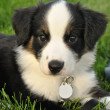 AustraliShepherd (Aussie) Puppy — Stock Photo #6633666