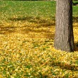 Ginkgo Leaves on the Grass in Autumn - Stock Photo
