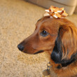 Red Long-Haired Dachshund with Gold Bow — Stock Photo
