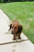 Wet Red Long-Haired Dachshund — Stock Photo