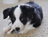 Australian Shepherd (Aussie) Puppy Chewing — Stock Photo