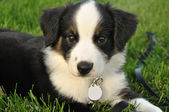 Australian Shepherd (Aussie) Puppy — Stock Photo