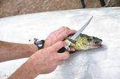 Fisherman Filleting a Walleye Fish (Sander vitreus) — Stock Photo