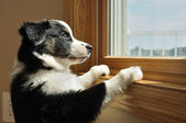 Australian Shepherd (Aussie) Puppy Watching — Stock Photo