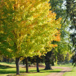 Colorful Leaves on Maple Trees — Stock Photo