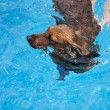 Red Long-Haired Dachshund Swimming — Stock Photo