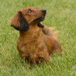 Red Long-Haired Dachshund — Stock Photo