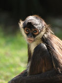 Geoffroy's Spider Monkey (Ateles geoffroyi) — Stock Photo