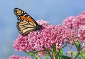 Monarch Butterfly (Danaus plexippus) on Swamp Milkweed Wildflower — Foto Stock