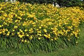 Yellow Daylillies in Backyard Flower Bed — Stock Photo