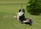 Australian Shepherd (Aussie) Dog Catching a Ball — Stock Photo
