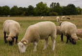 Grazing sheep — Foto Stock