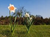 Flowering Daffodil — Stock Photo