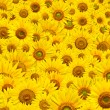 Royalty-Free Stock Photo: Sunflower background