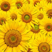 Sunflower background — Stock Photo
