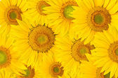 Background made of beautiful sunflowers — Stock Photo