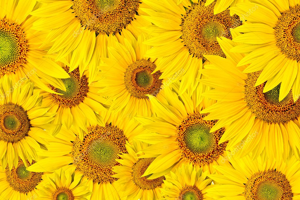 Background made of beautiful yellow sunflowers — Stock Photo #6246150