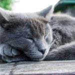 Russian Blue breed kitten — Stock Photo #5837782