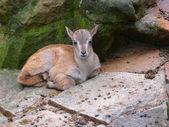 Deer fawn — Stock Photo