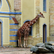 Stock Photo: Giraffe at zoo