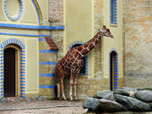 Giraffe at the zoo — Stock Photo