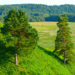 Two pine trees — Stock Photo