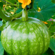 Green Pumpkin on Vegetable Patch - Stockfoto