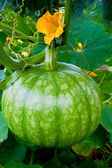 Green Pumpkin on Vegetable Patch — Стоковое фото
