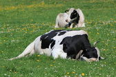 Cows of Fribourg canton, Switzerland, resting — Stock Photo