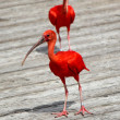 Scarlet red ibis — Stock Photo