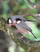 Java padda birds — Stock Photo