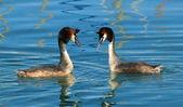 Dvě kachny potápka roháč — Stock fotografie