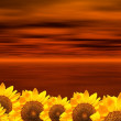 Stock Photo: Red oceand sunflowers