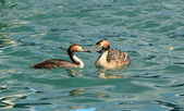 Couple of great crested grebe ducks — Stock Photo