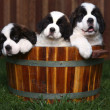 Stock Photo: Three Adorable Saint Bernard Puppies in Barrel