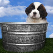 Stock Photo: Saint Bernard Puppy Portrait