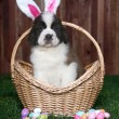 Easter Themed Saint Bernard Puppy Portrait — Stock Photo