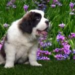Cute Saint Bernard Puppy on White — Stock Photo #5977463