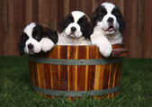 Three Adorable Saint Bernard Puppies in a Barrel — Stock Photo