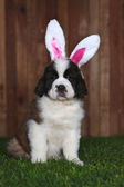 Easter Themed Saint Bernard Puppy Portrait — Stock Photo