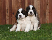 Portrait of Saint Bernard Puppies — Stock Photo