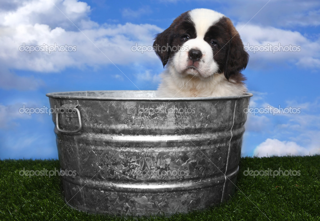Adorable Saint Bernard Puppy Portrait  Stock Photo #5977401